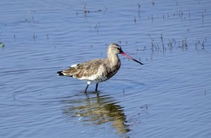 black-tailed-godwit-3108936_960_720